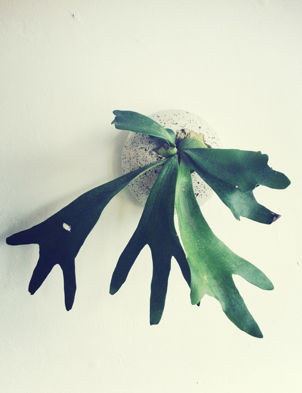 staghorn-fern