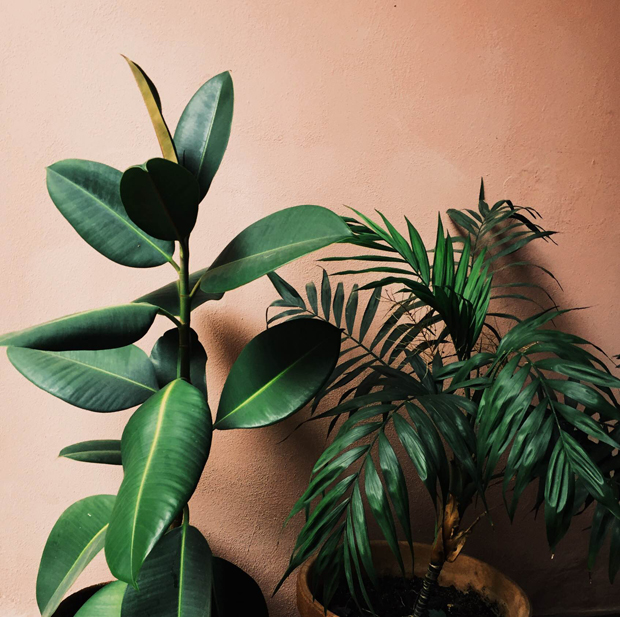 Plant-o-Pedia: Rubber Tree | Jungalow by Justina Blakeney