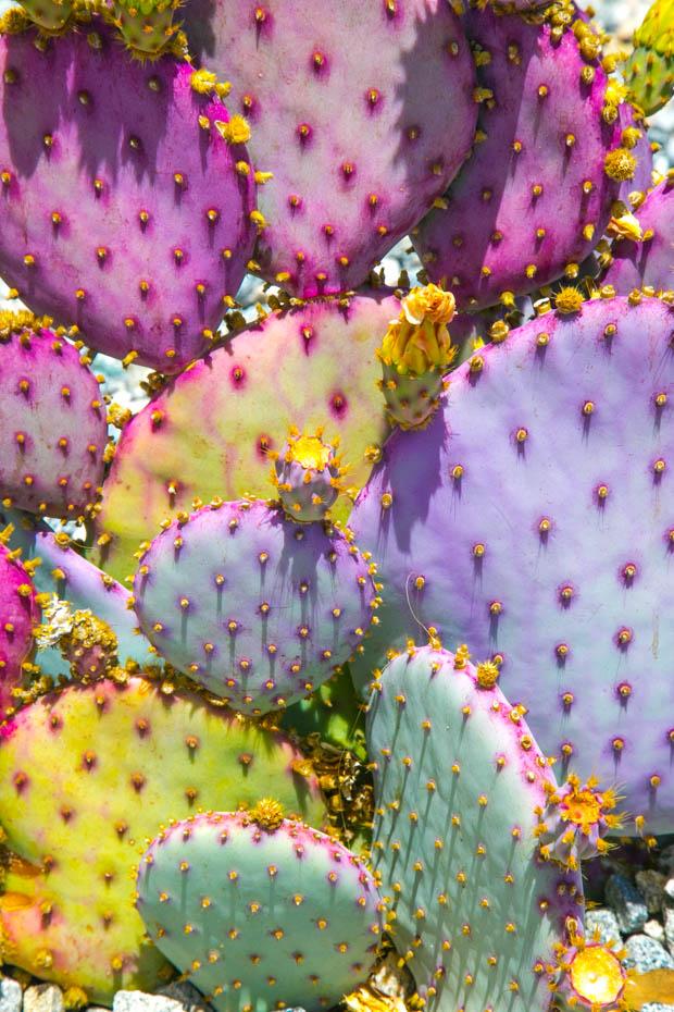 Purple-Cacti-1