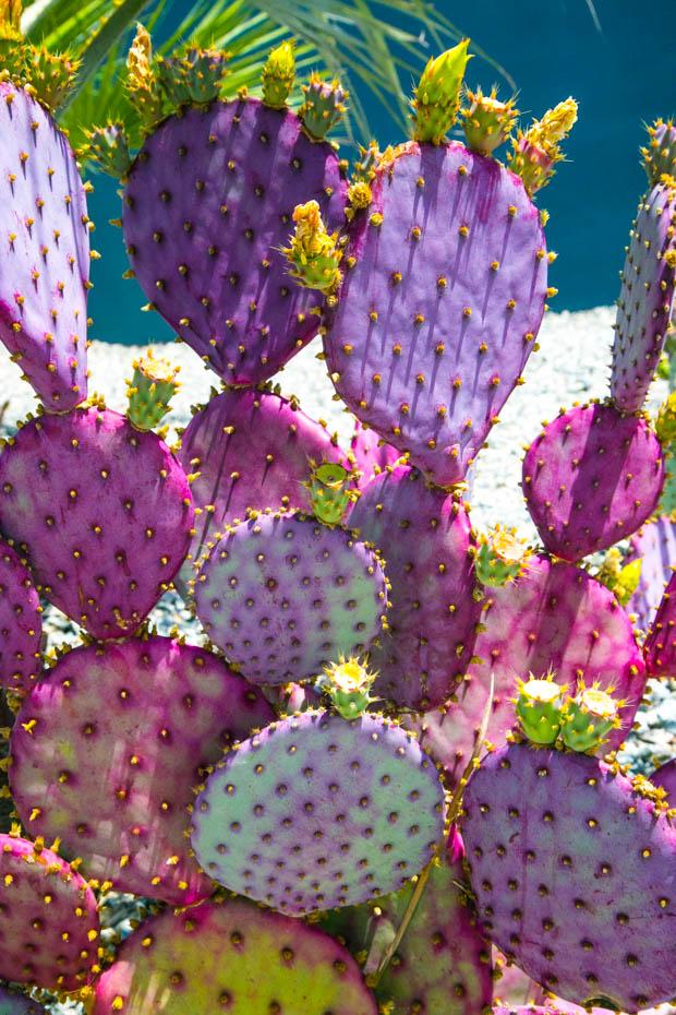 Purple-Cacti-2