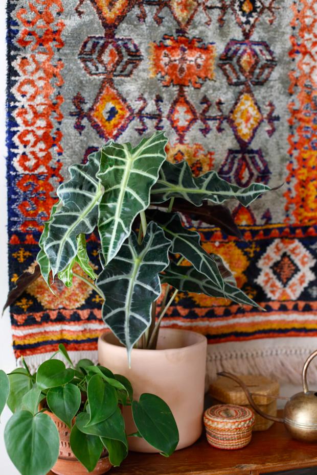 Alocasia-amazonica-plant
