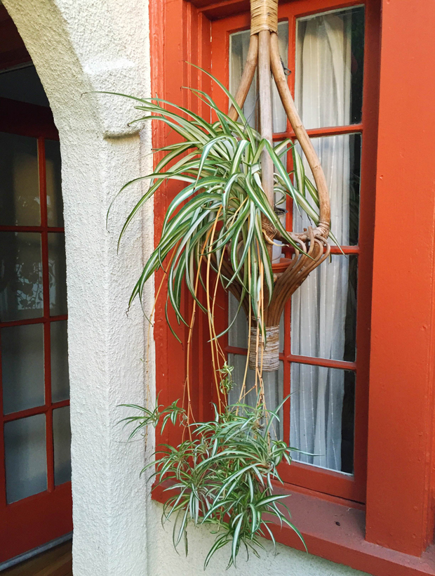 Outdoor-Spider-Plant