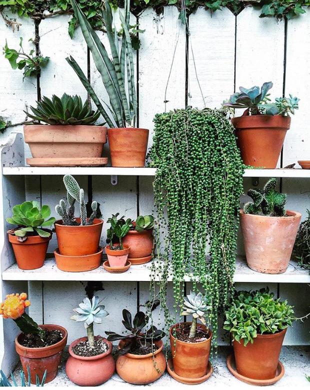 plantopedia-stringofpearls-outside