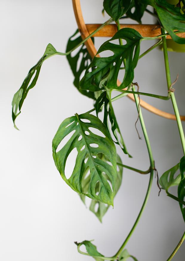Plantopedia-Monstera-Obliqua-2