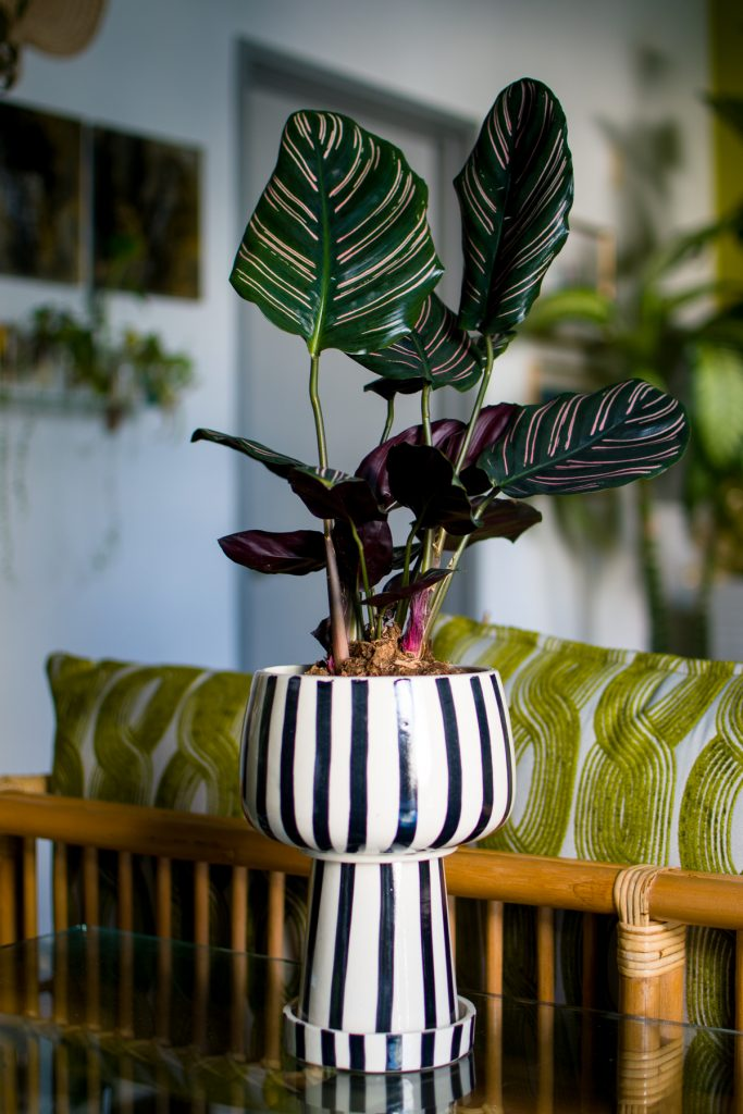 Pinstripe Plant in Kaya Cup Planter